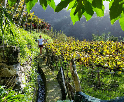 Madeira Wine, Levada Vineyards